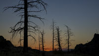 Pine trees burned by wildfire