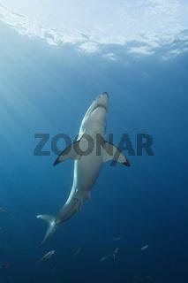 Grosser Weisser Hai, Guadalupe Island
