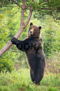 Majestic brown bear standing vertically in forest in summer