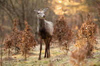 Interested red deer stag standing on a glade in spring nature