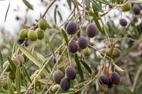 olive on a olive tree