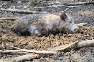 Boar resting in the mud