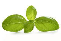 Basil leaves isolated - macro shot