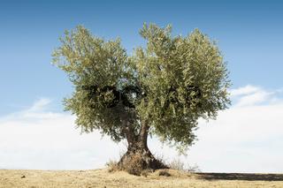 Olive tree on blue sky