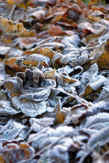 Frosted Autumn Garden Leaves