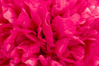 Petals of a large dark red peony as a background