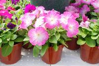 Petunia ,Petunias in the tray,Petunia in the pot, pink shade
