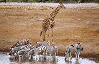 Drinking zebras, Etosha National Park, Namibia