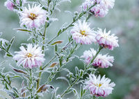 beautiful frozen flowers whis crystal ice