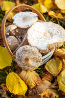 A basket with beautifully picked up edible mushrooms umbrellas stands on fallen yellow leaves. Close-up