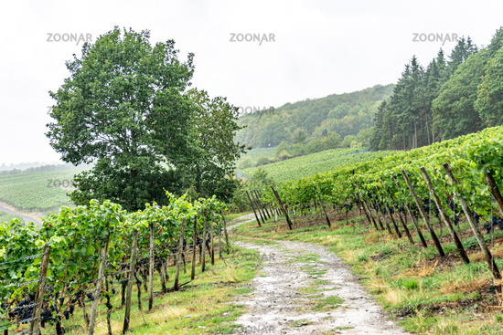 On the red vine hiking route in the valley of the Ahr in Germany
