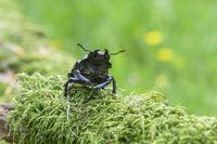 Female Stag beetle, Lucanus cervus