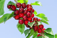 Branch of cherry tree with ripe tasty sweet berry