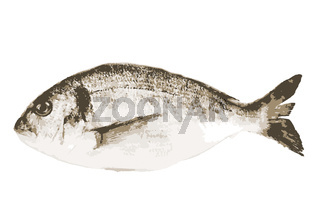 Sea bream fish isolated on a white background. This large group of fish from the Sparidae or Bramidae families are generally caught in the Mediterranean and off the west coast of Africa