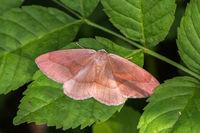 Barred Red (Hylaea fasciaria)