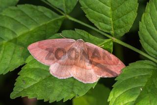 Zweibindiger Nadelwald-Spanner (Hylaea fasciaria)
