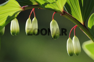 Echtes Salomonsiegel (Polygonatum odoratum)