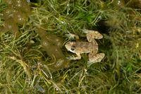 Skittering frog, Euphlyctis cyanophlyctis, Satara, Maharashtra, India