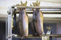 Smoked fish in the industrial production of a fish factory.