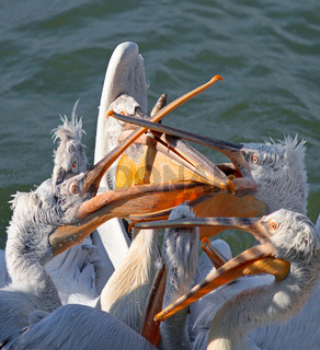 Flock of pelicans fighting for the fish