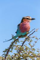 Lilac-brested roller, africa safari wildlife