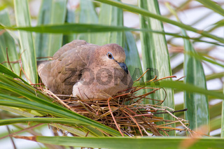 Pigeon breeds on nest between palm leaves
