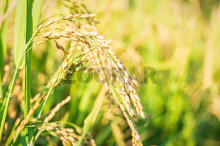 Close up to rice seeds in ear of paddy