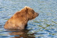 Hungry Kamchatka brown bear standing in water, looking around in search of food - red salmon fish