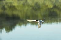 tern bird flies over a pond