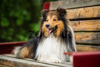 Sheltie dog lying on a park bench