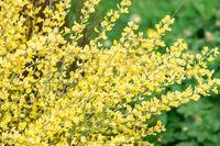 Yellow bush Spartium junceum