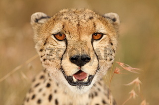 Cheetah in the wilderness of Africa