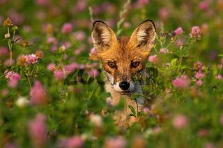 Portrait of wild fox between pink flowers in summer