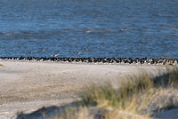 Birds on North Frisian island beach of Amrum in Germany