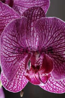 Nahaufnahme einer margenta farbenen Schmetterlingsorchidee