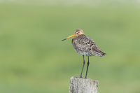 black tailed godwit, Limosa limosa