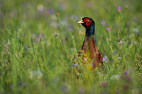 Common pheasant cock standing on meadow in summertime.