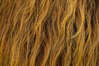 Scottish Highland Cow Hair Background
