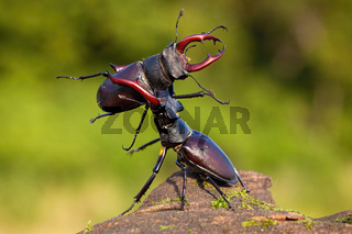 Two stag beetles contesting their power over territory