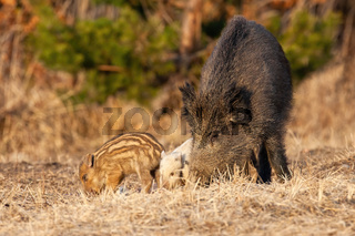 Wild boar family feeding on meadow in spring nature