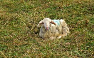Lamm liegt auf der Weide