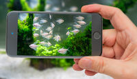 Underwater world of aquarium. Plants and fish in freshwater aquarium. Natural background Natural habitat. Home hobby. Underwater world of aquarium on smartphone screen.