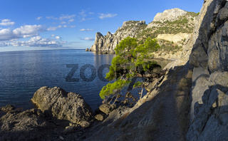 Relict pine at the mountain path over the sea. Crimea.