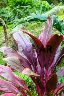 Costa Rica Cordyline fruticosa red