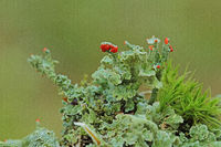 Flowering lichen