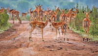 Impalas at Lake Mburo National Park in Uganda (Aepyceros melampus)