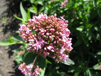 Blooming centranthus ruber (red valerian) plant in a garden