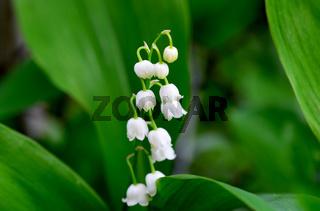 Convallaria plant flower