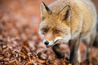 Red fox walking on foliage in autumn nature in detail.