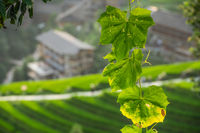 Backlit green tree leaves and Rice Terraces in Longji